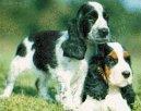 Английский кокер-спаниель (English Cocker Spaniel) / Породы собак / Породы собак: Охотничие: Уход, советы, бесплатные объявления, форум, болезни