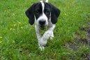 Английский пойнтер (English Pointer) / Породы собак / Породы собак: Охотничие: Уход, советы, бесплатные объявления, форум, болезни