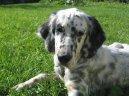 Английский сеттер (English setter) / Породы собак / Породы собак: Охотничие: Уход, советы, бесплатные объявления, форум, болезни