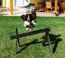 Английский спрингер-спаниель (English Springer Spaniel) / Породы собак / Породы собак: Охотничие: Уход, советы, бесплатные объявления, форум, болезни