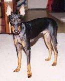 Английский той-терьер (черно-подпалый) (Toy Terrier) / Породы собак / Породы собак: Терьеры: Уход, советы, бесплатные объявления, форум, болезни