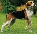 Англо-французская гончая (Medium-sized Anglo-french Hound) / Породы собак / Породы собак: Охотничие: Уход, советы, бесплатные объявления, форум, болезни