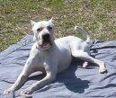 Аргентинский дог (Dogo Argentino) / Породы собак / Породы собак: Пинчеры и шнауцеры, молоссы: Уход, советы, бесплатные объявления, форум, болезни