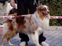 Австралийская овчарка (Australian Shepherd Dog)