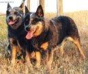 Австралийский хилер (Australian Cattledog) / Породы собак / Уход, советы, бесплатные объявления, форум, болезни