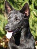 Австралийский келпи (Australian Kelpie) / Породы собак / Породы собак: Пастушьи: Уход, советы, бесплатные объявления, форум, болезни