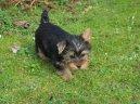 Австралийский шелковистый терьер (силки-терьер) (Australian Silky Terrier)
