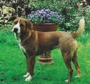 Австрийский короткошерстный пинчер (Austrian Shorthaired Pinscher) / Породы собак / Породы собак: Служебные: Уход, советы, бесплатные объявления, форум, болезни