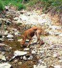 Фотографии к статье: Азавак (Azawakh) / Советы по уходу и воспитанию породы собак, описание собаки, помощь при болезнях, фотографии, дискусии и форум.
