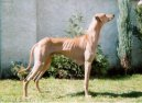 Азавак (Azawakh) / Породы собак / Уход, советы, бесплатные объявления, форум, болезни