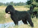 Барбе (Barbetб French Water Dog)
