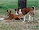 Басенджи (Basenji) / Породы собак / Породы собак: Служебные: Уход, советы, бесплатные объявления, форум, болезни