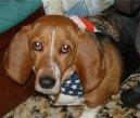 Бассет артезиано-нормандский (Basset artesien normand) / Породы собак / Породы собак: Маленького размера: Уход, советы, бесплатные объявления, форум, болезни