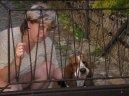Бассет-хаунд (Basset Hound)