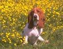 Бассет-хаунд (Basset Hound) / Породы собак / Породы собак: Маленького размера: Уход, советы, бесплатные объявления, форум, болезни