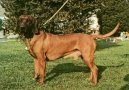 Баварская горная гончая (Bayriswcher Gebirgsschweisshund, Bavarian Mountain Scenthound) / Породы собак / Уход, советы, бесплатные объявления, форум, болезни