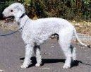 Бедлингтон-терьер (Bedlington Terrier)