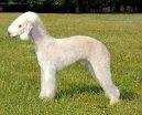 Бедлингтон-терьер (Bedlington Terrier) / Породы собак / Породы собак: Маленького размера: Уход, советы, бесплатные объявления, форум, болезни