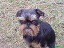 Бельгийский гриффон (Griffon belge, Belgian Griffon) / Породы собак / Породы собак: Маленького размера: Уход, советы, бесплатные объявления, форум, болезни