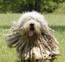 Бергамская овчарка (Bergamasco Shepherd Dog) / Породы собак / Породы собак: Служебные: Уход, советы, бесплатные объявления, форум, болезни