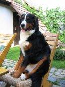 Фотографии к статье: Бернер зенненхунд (Бернская пастушья собака) (Berner Sennenhund) / Советы по уходу и воспитанию породы собак, описание собаки, помощь при болезнях, фотографии, дискусии и форум.