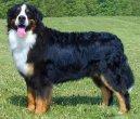 Бернер зенненхунд (Бернская пастушья собака) (Berner Sennenhund) / Породы собак / Породы собак: Служебные: Уход, советы, бесплатные объявления, форум, болезни