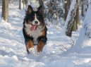 Бернер зенненхунд (Бернская пастушья собака) (Berner Sennenhund)