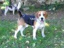 Бигль-харьер (Beagle Harrier) / Породы собак / Породы собак: Охотничие: Уход, советы, бесплатные объявления, форум, болезни