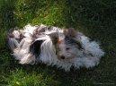 Бивер йорк (Biewer Yorkies) / Породы собак / Породы собак: Другие породы собаки: Уход, советы, бесплатные объявления, форум, болезни