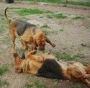 Бладхаунд (Шьен де Сен-юбер) (Chien de Saint-Hubert) / Породы собак / Породы собак: Гончие и близкие породы: Уход, советы, бесплатные объявления, форум, болезни