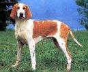 Большая англо-французская красно-пегая гончая (Great Anglo-French White and Orange Hound) / Породы собак / Породы собак: Охотничие: Уход, советы, бесплатные объявления, форум, болезни