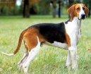 Большая англо-французская трехцветная гончая (Great Anglo-French Tricolour Hound) / Породы собак / Породы собак: Гончие и близкие породы: Уход, советы, бесплатные объявления, форум, болезни
