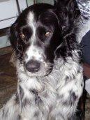 Большая мюнстерлендская легавая (Large Munsterlander) / Породы собак / Породы собак: Охотничие: Уход, советы, бесплатные объявления, форум, болезни