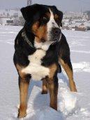 Большой швейцарский зенненхунд (Grosser Schweizer Sennenhund) / Породы собак / Породы собак: Пинчеры и шнауцеры, молоссы: Уход, советы, бесплатные объявления, форум, болезни