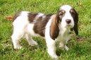 Большой вандейский бассет-гриффон (Grand basset griffon vendeen) / Породы собак / Породы собак: Охотничие: Уход, советы, бесплатные объявления, форум, болезни