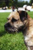 Бордер-терьер (Border Terrier)