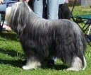 Бородатый колли (Bearded Collie) / Породы собак / Породы собак: Пастушьи: Уход, советы, бесплатные объявления, форум, болезни