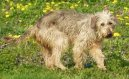 Боснийская грубошерстная гончая (барак) (Bosanski Ostrodladki Gonic) / Породы собак / Породы собак: Охотничие: Уход, советы, бесплатные объявления, форум, болезни