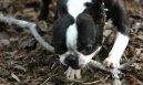Бостонский терьер (Boston Terrier)