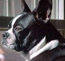 Бостонский терьер (Boston Terrier) / Породы собак / Породы собак: Маленького размера: Уход, советы, бесплатные объявления, форум, болезни
