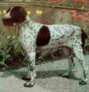 Бракк овернский (Auvergne pointer) / Породы собак / Уход, советы, бесплатные объявления, форум, болезни