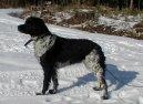 Бретонский спаниель (Brittany Spaniel) / Породы собак / Породы собак: Охотничие: Уход, советы, бесплатные объявления, форум, болезни