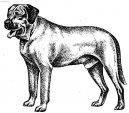 Брохолмер (датский мастиф, датская мясницкая собака) (Broholmer) / Породы собак / Породы собак: Пинчеры и шнауцеры, молоссы: Уход, советы, бесплатные объявления, форум, болезни