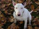 Бультерьер (Bull Terrier) / Породы собак / Породы собак: Терьеры: Уход, советы, бесплатные объявления, форум, болезни