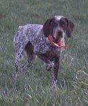 Бурбонский бракк (Braque du Bourbonnais, Bourbonnais Pointing Dog) / Породы собак / Породы собак: Охотничие: Уход, советы, бесплатные объявления, форум, болезни