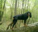 Черно-подпалый кунхаунд (енотовая собака) (Black and Tan Coonhound) / Породы собак / Уход, советы, бесплатные объявления, форум, болезни