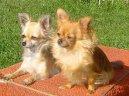 Чихуахуа (Chihuahua)