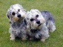 Денди динмонт терьер (Dandie Dinmont Terrier)