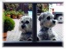 Денди динмонт терьер (Dandie Dinmont Terrier) / Породы собак / Породы собак: Терьеры: Уход, советы, бесплатные объявления, форум, болезни