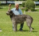Дирхаунд (Scottish Deerhound)